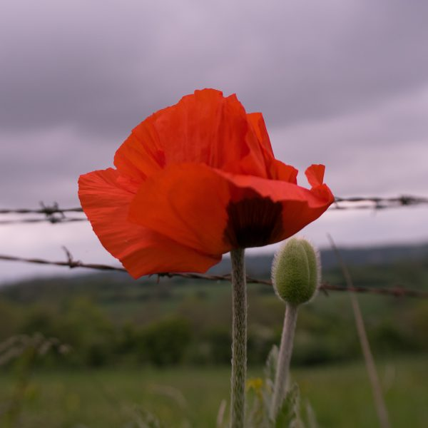 poppy for a poem about war