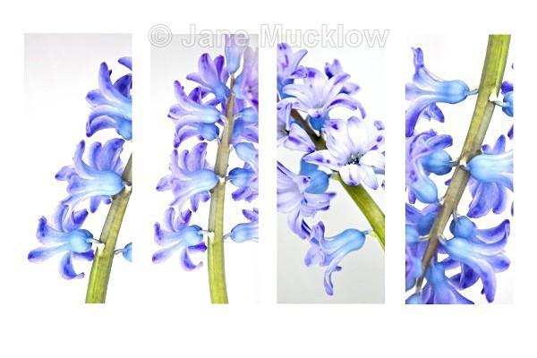 Hyacinths by Jane Mucklow