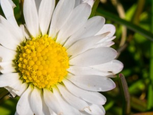 Daisy macro 10mm