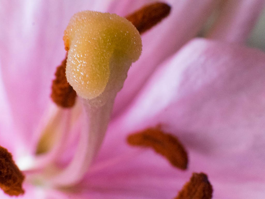Lily flower macro