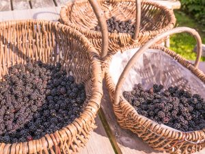 Blackberries in Baskets