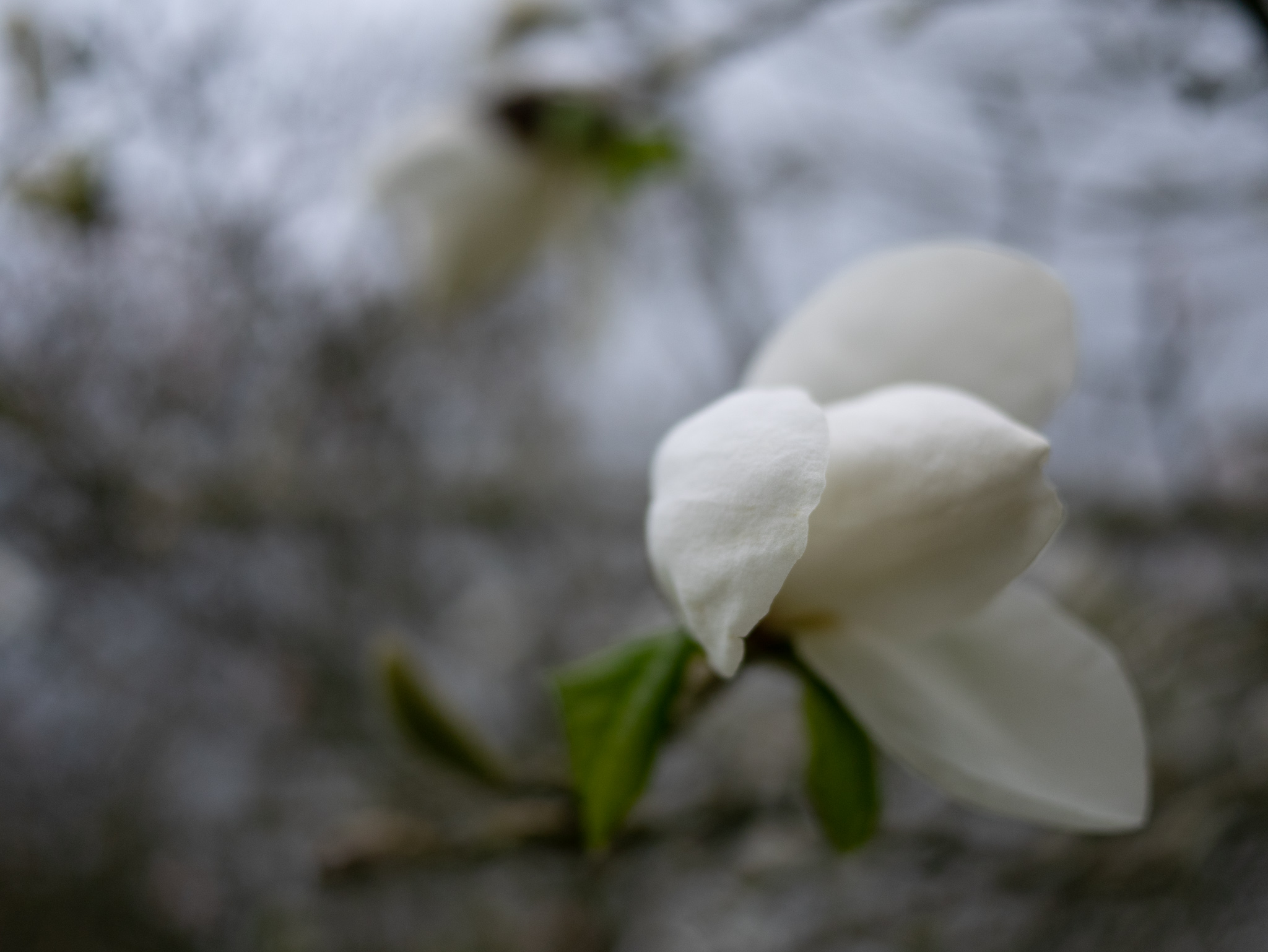 Magnolia flower bud for silence poem