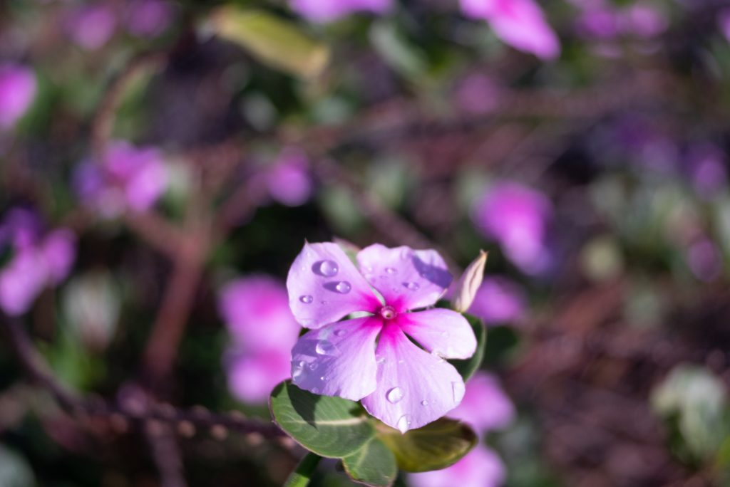 Pink flower in Lanzarote