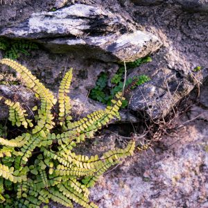 texture photo of stone wall and fern