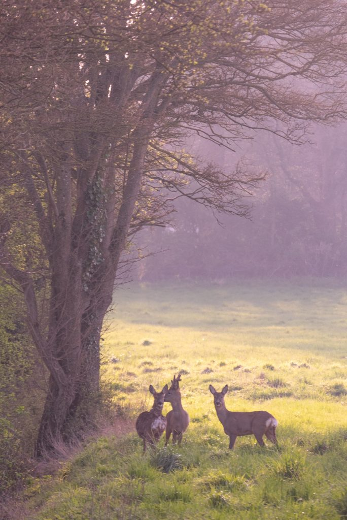 Family of deer - wildlife photography