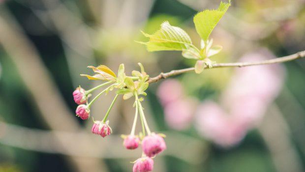 Spring cherry blossom buds